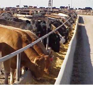 Cows at Feeding Station