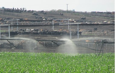 irrigating manure in front of feedlot
