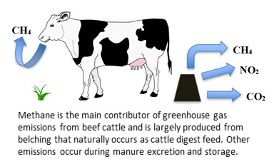 Methane is the main contributor of greenhouse gas emissions from beef cattle and is largely produced from belching that naturally occurs as cattle digest feed. Other emissions occur during manure excretion and storage.