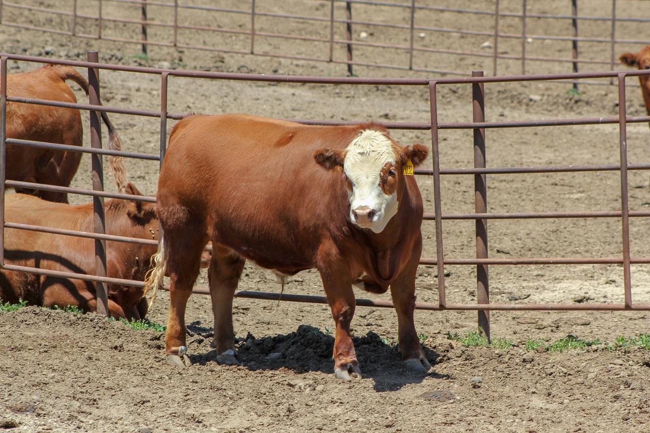 Steer in feedlot. Photo credit Troy Walz.