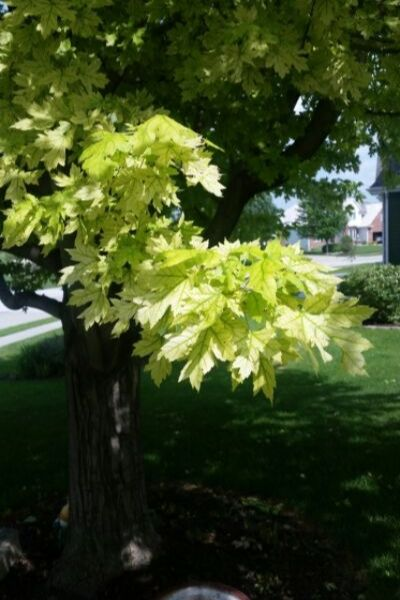 Photo of Chlorosis from Amy Cogswell