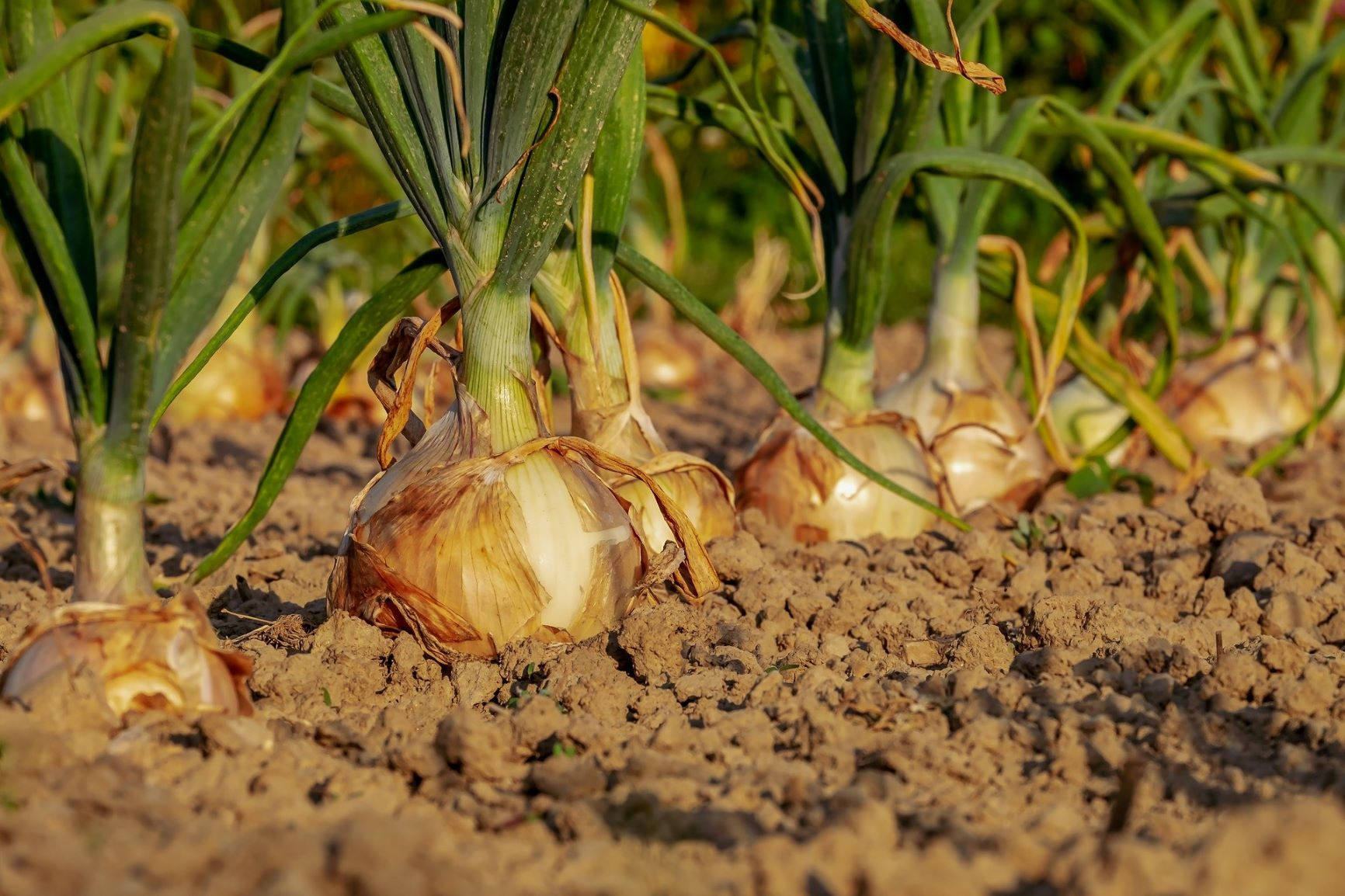 Onions in the garden