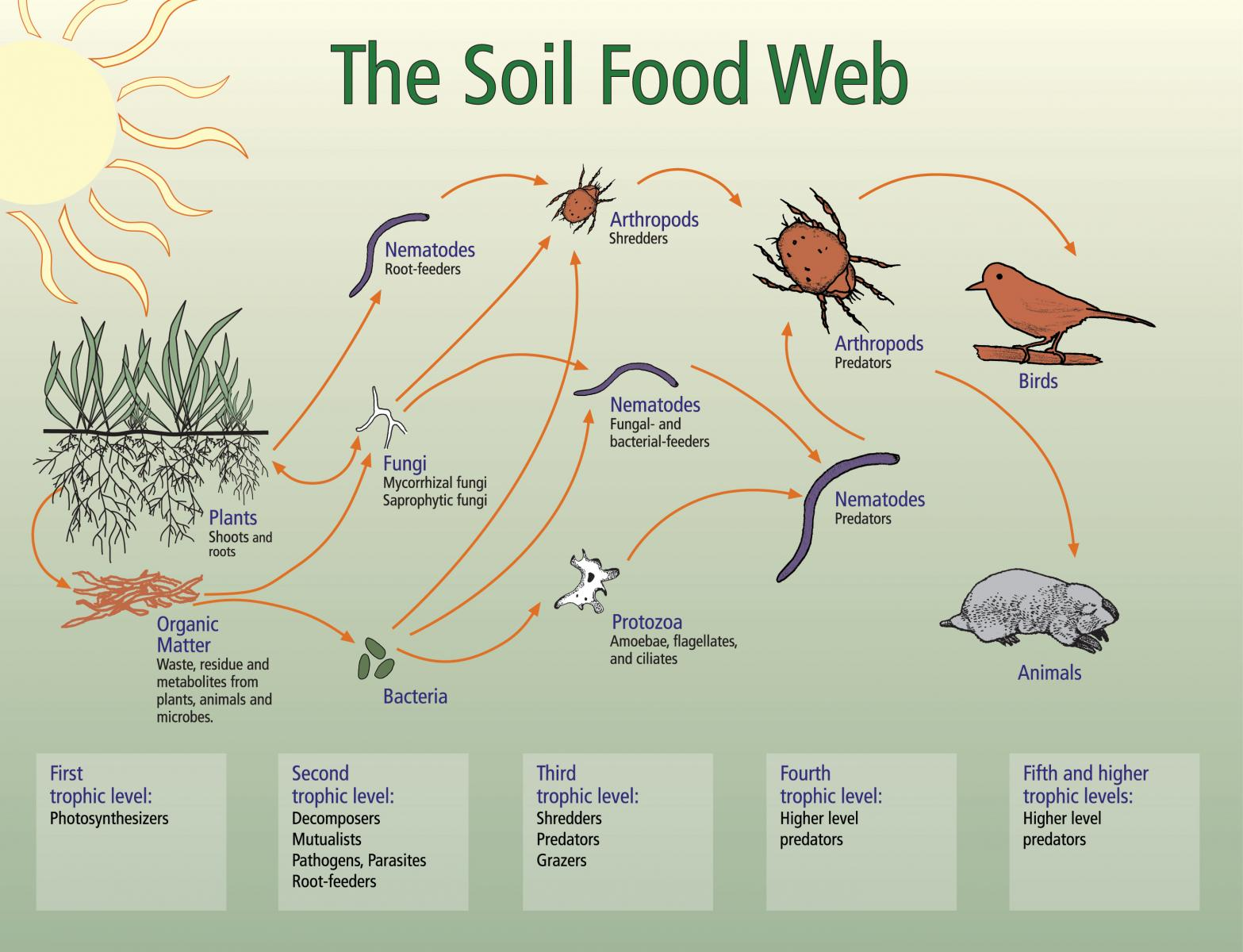 Graphic of The Soil Food Web