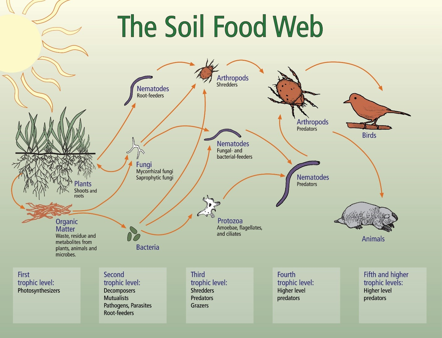 Trophic levels of the soil food web (Source: nrcs.usda.gov)