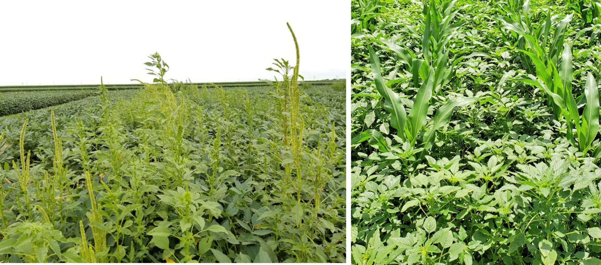Glyphosate-resistant Palmer amaranth in soybean field (left) in south central Nebraska and atrazine/ALS inhibitors/ glyphosate-resistant Palmer amaranth in corn field (right) near Carleton, NE