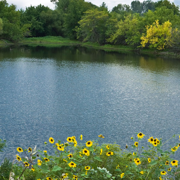 Lake with sunflowers