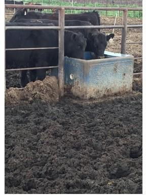 Muddy feedlot conditions common in Nebraska in 2019 lead to poor animal performance, some health issues, and increased odors as temperatures warm. What are your options for minimizing these challenges?