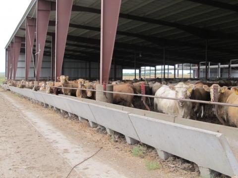 Confined beef cattle operations for more than 200 head may be subject to ammonia emissions reporting requirements under CERCLA and EPCRA.